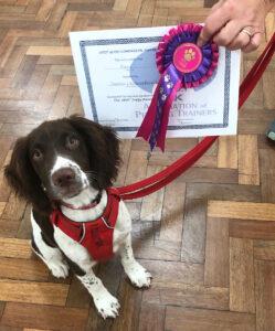 Springer Spaniel at Obedience Training Market Drayton