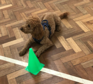 Poodle at Obedience Training Market Drayton